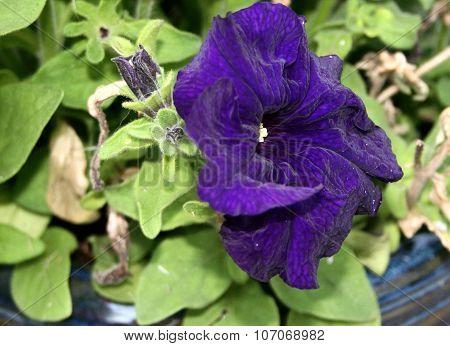 Dark blue Petunia