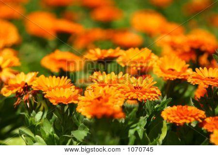 Pot Marigold Field