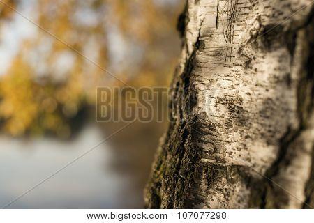Closeup Birch Trunk In Autumn