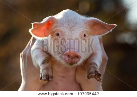 Piglet in male hands