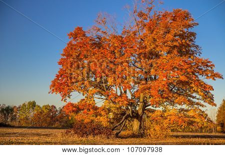 Large Maple Tree In Autumn