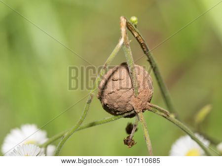 A mud-coated egg-sac built by a spider, attached to a small wildflower stem