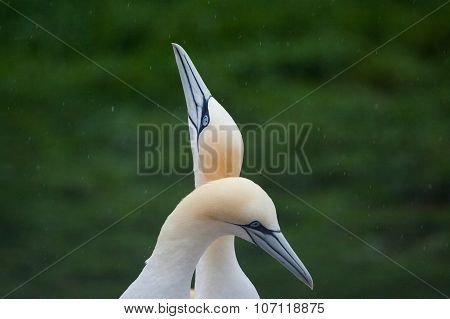 Northern Gannet pairs in the rain