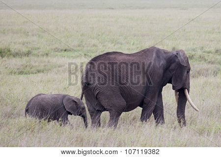 A baby African bush elephant walking with mother