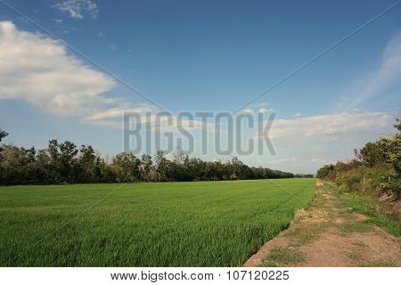 Rice Field At Noon