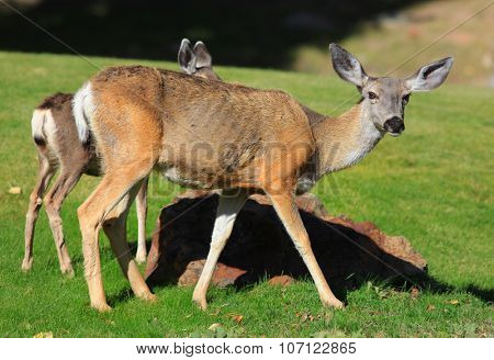 White tailed deer and its baby deer