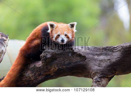 Red panda shining cat. Portrait of a Red Panda.