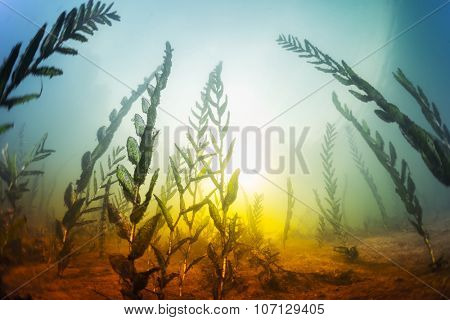 Underwater shot of the weed in the fresh water lake. Shallow DOF