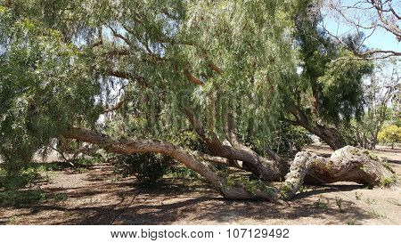 California Pepper Tree