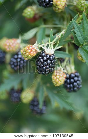 Dewberries on a shrub. Macro shot. Blackberries on the shrub in the garden.