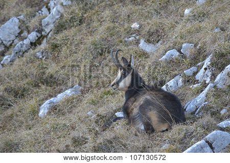 Carpathian Chamois Resting