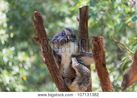 Koala. A wild Koala climbing a tree. Koala Bear in zoo.