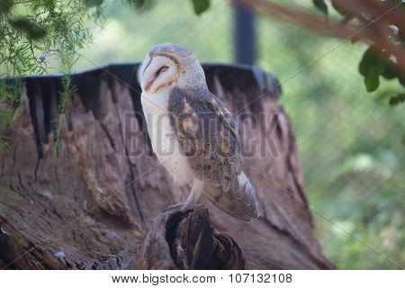 Barn Owl (tyto Alba).