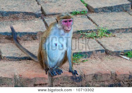 Old Monkey