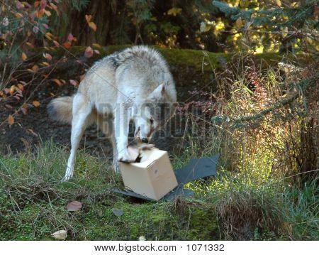 Wolf Tearing Box