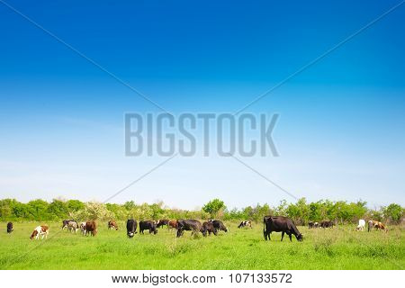 Herd Of Cows Grazing On A Meadow