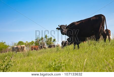 Herd Of Cows Grazing On A Hill