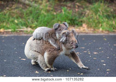Australia Baby Koala Bear and mom. Australia.