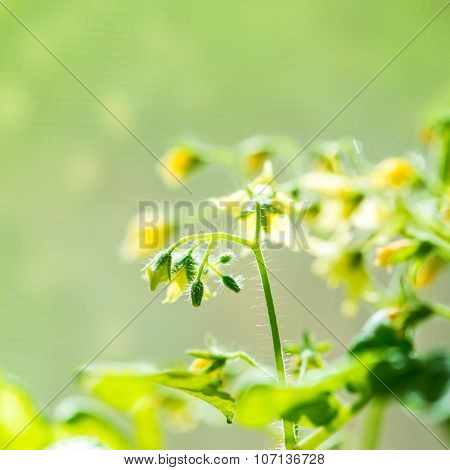 Spring Seedling Plant Of Blooming Young Tomato On Blur Green Background, Closeup