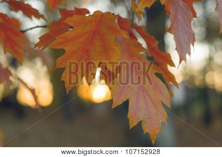 Autumn Twig Of Nothern Red Oak With Orange Leaves