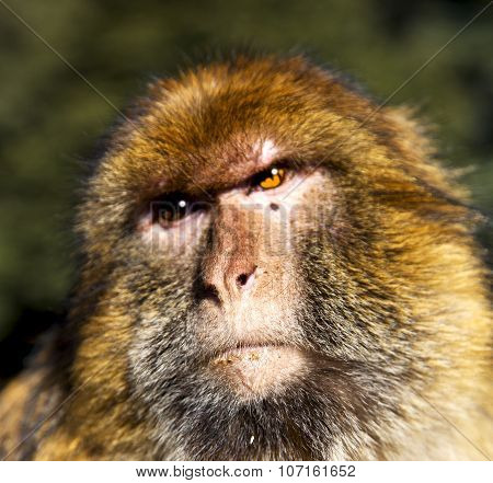 Africa In Morocco Cedar Forest The Primitive  Monkey Animal Wildlife