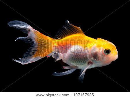 Side profile goldfish