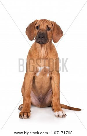 rhodesian ridgeback puppy sitting on white