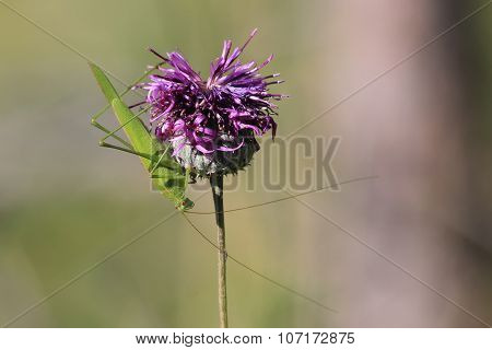 Close up of a grasshopper sits on a flower