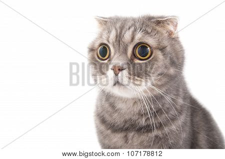 Portrait Of A Surprised Cat Breed Scottish Fold..