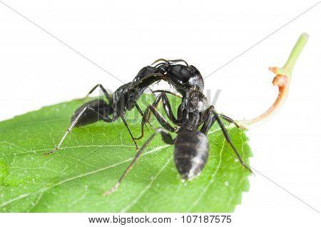Ants Fight