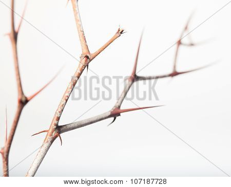 Prickly Twigs Of Jujube