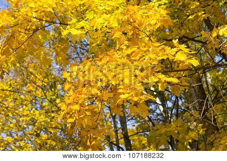 Bright Yellow Maple Leaves On The Trees Against The Sky. Autumn Scenery, Background And Mood.