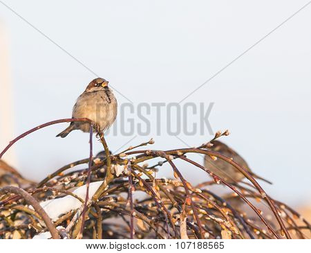 Sparrow bird on the twig