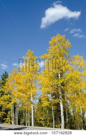 Aspens In Colorado Vertical