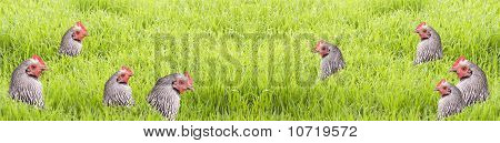 Easter Background Hens In Grass