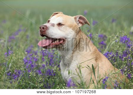 Gorgeous American Pit Bull Terrier In Flowers
