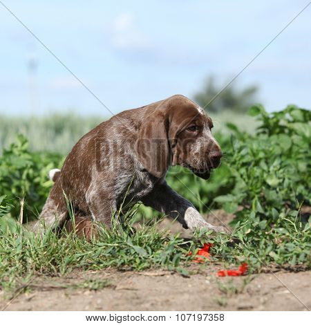Puppy Of German Shorthaired Pointer Moving