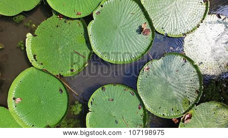 Victoria Regia - the largest water lily in the world