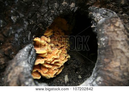 BUTTE, CALIFORNIA - October 27, 2015: Devastation of Forest Land and Public Structures as a result of the Butte CA Fire. Sulphur Shelf fungi Mushrooms grow inside a burned out tree.