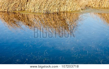 Dry Cane And Its Reflection In The Water