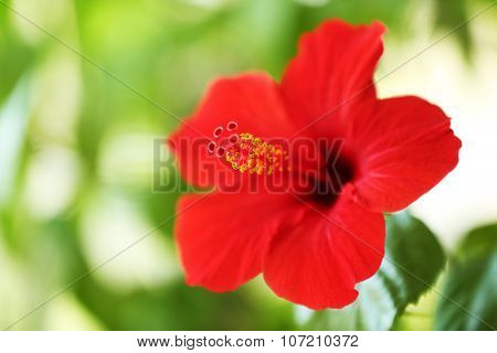 Beautiful hibiscus flower on nature background