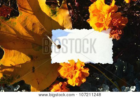Sheet for your text among the orange flowers marigold and yellow maple leaf