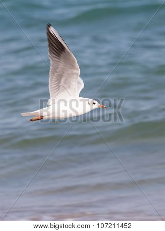 Beautiful Seagull Flying Over The Sea