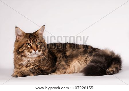 Big mainecoon tabby brown color on white