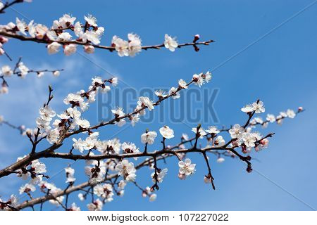 Apricot Blossom Branches