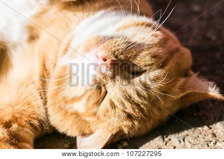 Muzzle Of Red Hair Cat