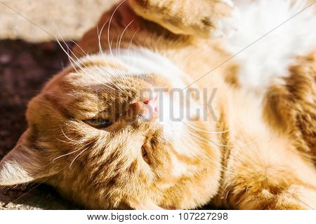 Red Cat Purring In Outdoor