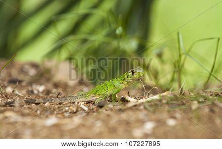 Baby Black Spiny-tailed Iguana
