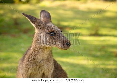 Australian Kangaroo in Pebbly Beach