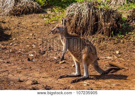 Australian Kangaroo Murramarang National Park